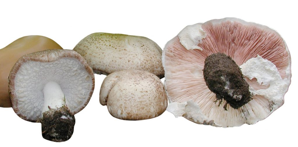 Agaricus blazei murill (Mandelpilz)