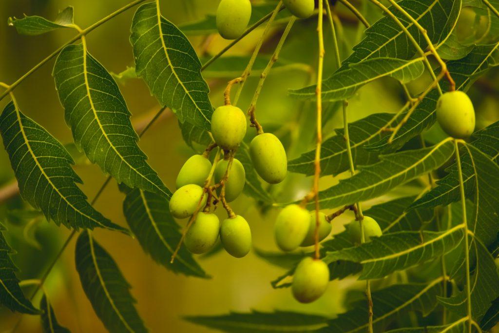 Niemfrüchte am Niembaum